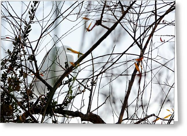 Great Egret Roosting In Winter Greeting Card