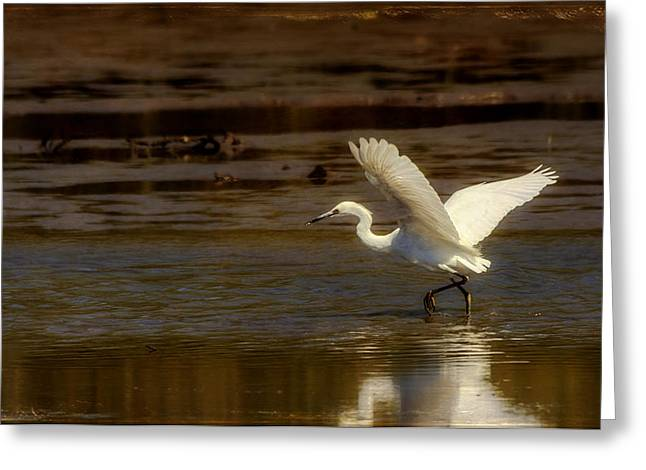 Great Egret Taking Off Greeting Card