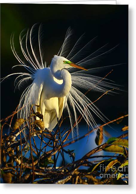 Great Egret With Breeding Plumage 1 Greeting Card by Jane Axman