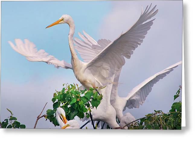 Great Egrets Parents And Young (ardea Greeting Card