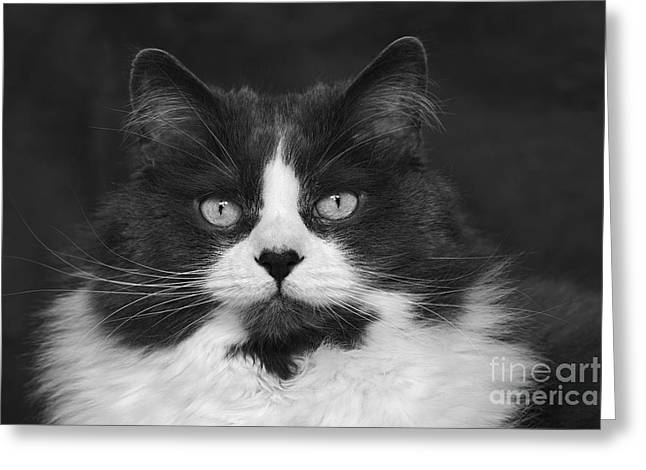 Great Gray Cat Greeting Card