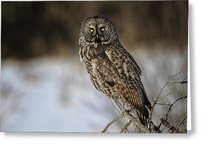 Great Gray Owl 2 Greeting Card