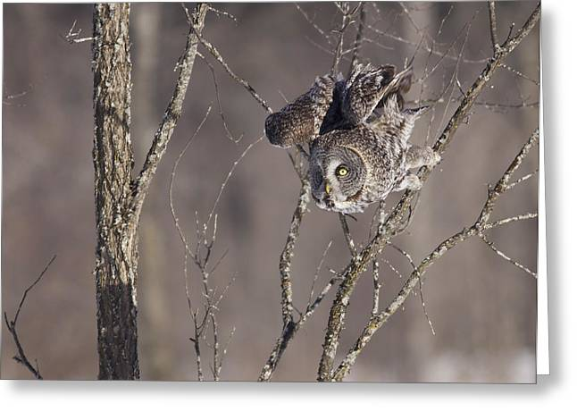 Great Gray Owl Greeting Card by Brian Magnier