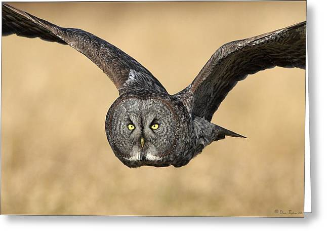 Great Gray Owl In Flight Greeting Card by Daniel Behm