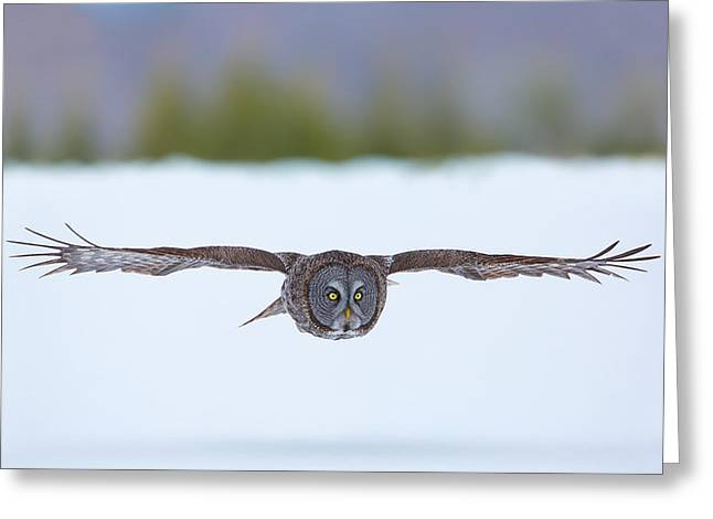 Great Gray Owl On The Hunt Greeting Card