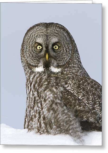 Great Gray Sitting In Snow, Anchorage Greeting Card by Doug Lindstrand