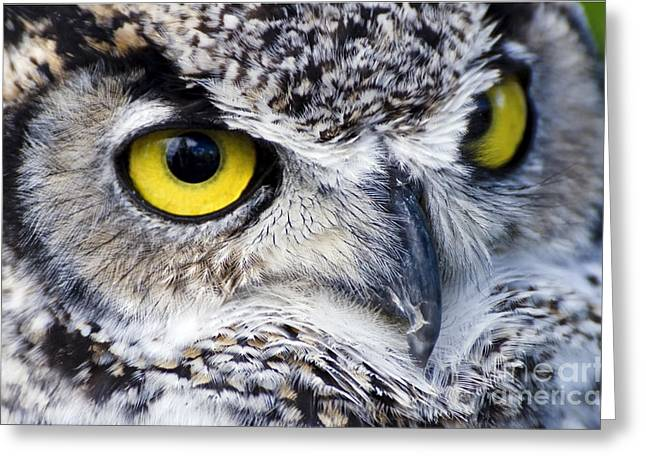 Great Horned Closeup Greeting Card