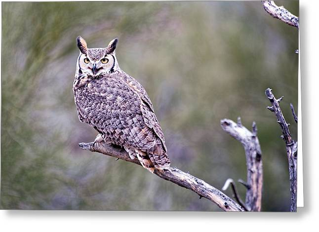 Greeting Card featuring the photograph Great Horned Owl by Dan McManus