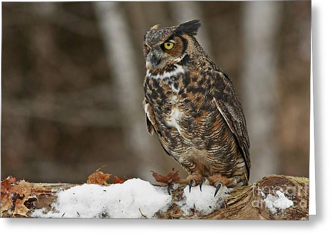 Great Horned Owl In A Snowy Winter Forest Greeting Card by Inspired Nature Photography Fine Art Photography