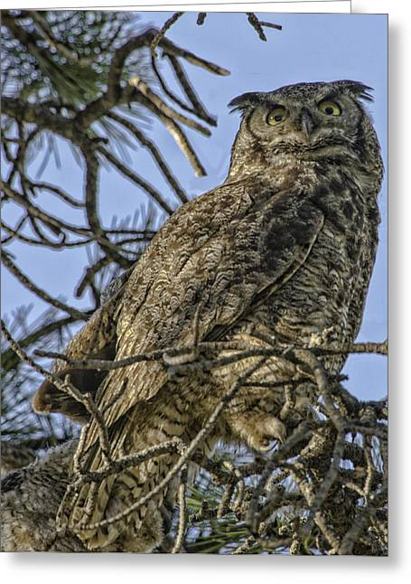 Great Horned Owl Greeting Card by Tom Wilbert
