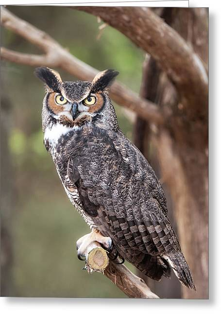 Greeting Card featuring the photograph Great Horned Owl by Tyson and Kathy Smith