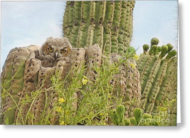 Great Horned Owlet In Saguaro Greeting Card by Marianne Jensen