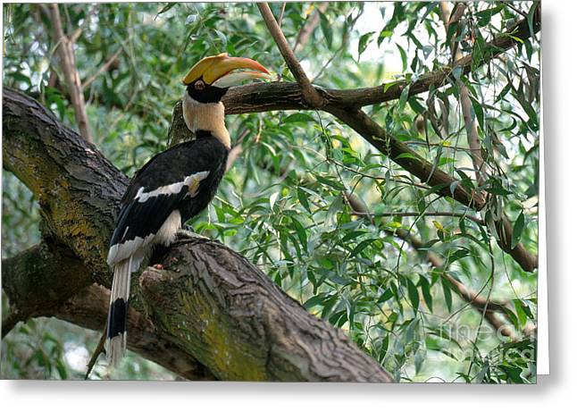 Great Indian Hornbill Greeting Card by Art Wolfe