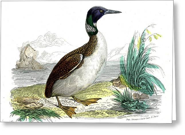 Great Northern Loon Greeting Card by Collection Abecasis
