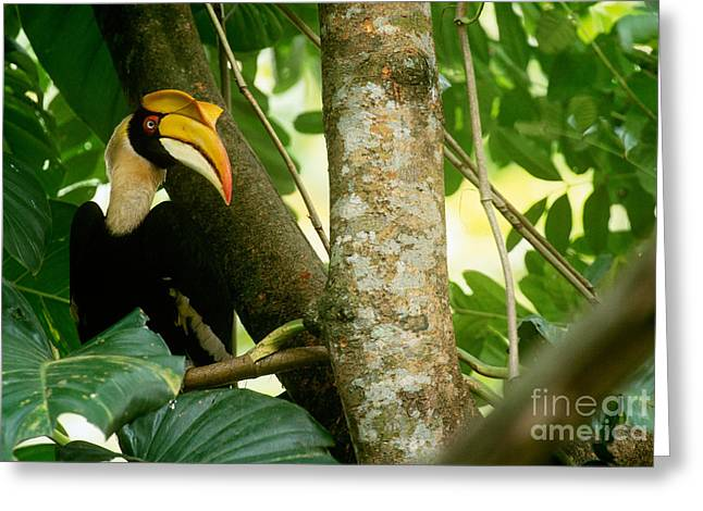Great Pied Hornbill Greeting Card