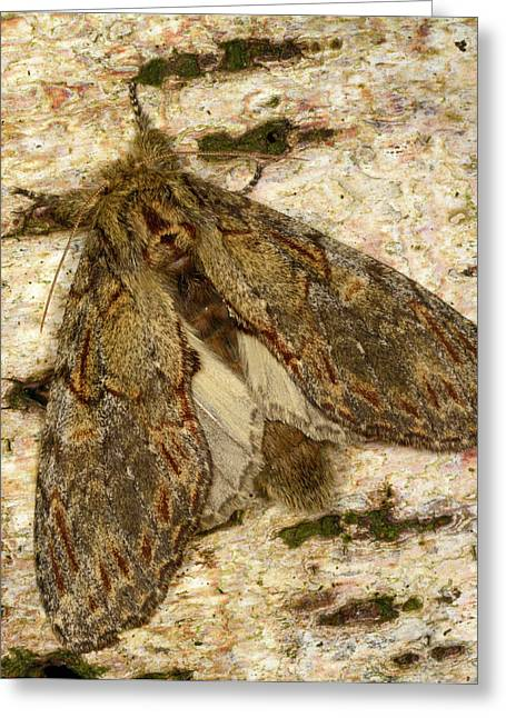 Great Prominent Moth Greeting Card by Nigel Downer