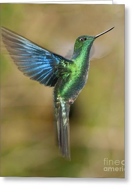 Great Sapphirewing Hummingbird Greeting Card by Dan Suzio