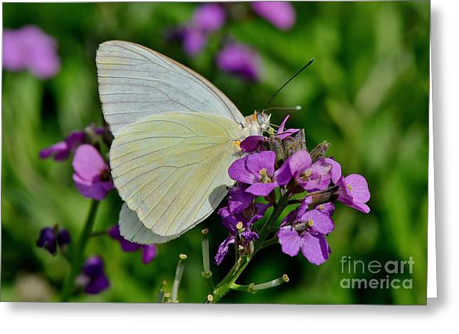 Great Southern White Butterfly Greeting Card by Kathy Baccari