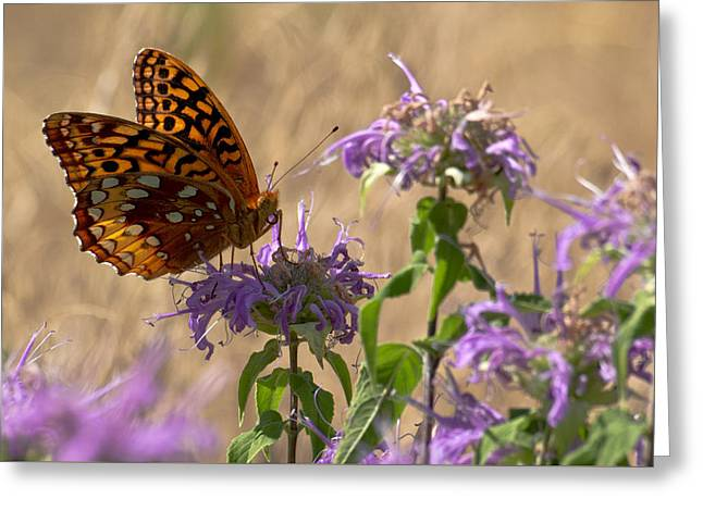 Great Spangled On Bee Balm Greeting Card by Shelly Gunderson