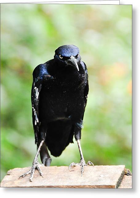Great Tailed Grackle Greeting Card
