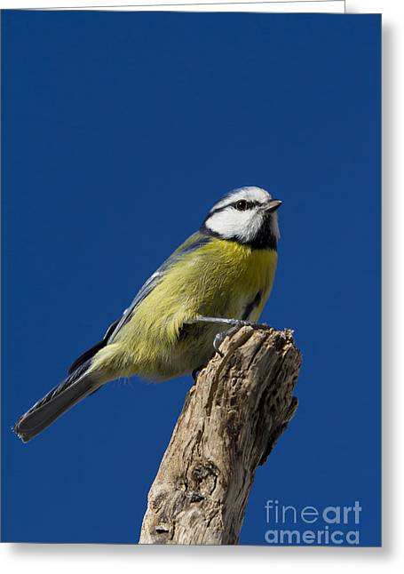 Great Tit On Blue Greeting Card by Maurizio Bacciarini