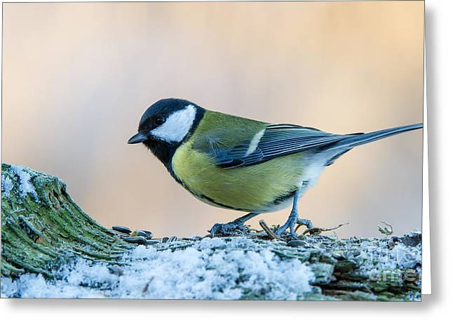 Great Tit On Snow Greeting Card by Torbjorn Swenelius