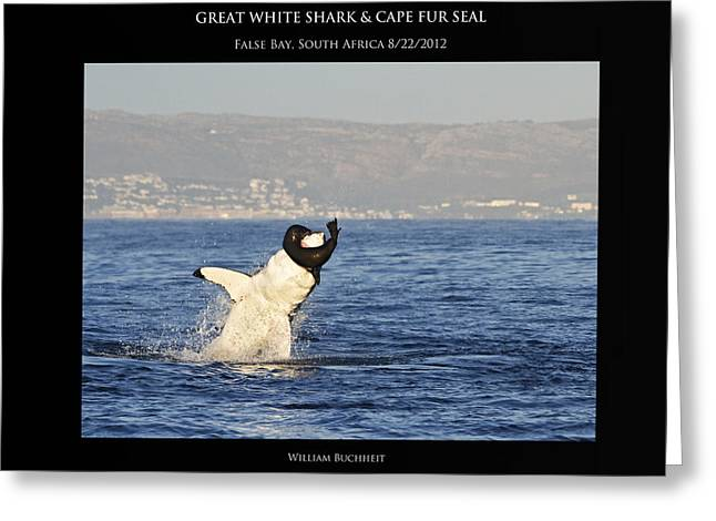 Great White And Seal Greeting Card by William Buchheit