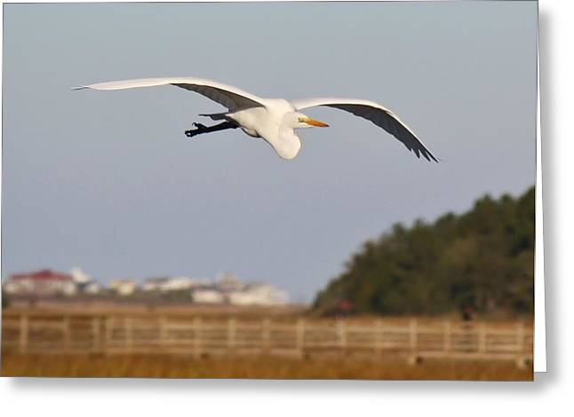 Great White Egret Incoming Greeting Card by Paulette Thomas