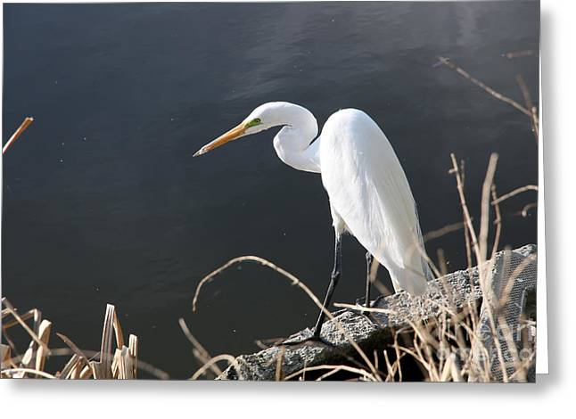 Great White Egret Greeting Card by Juan Romagosa