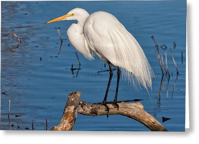 Great White Egret On A Limb Greeting Card