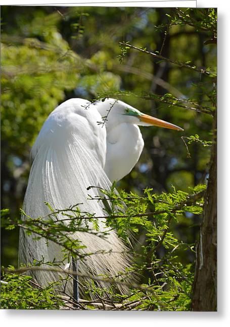 Great White Egret On Nest Greeting Card