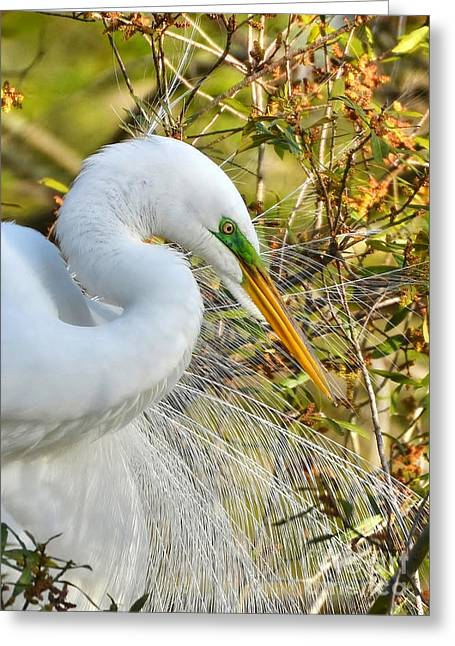 Great White Egret Portrait Greeting Card by Kathy Baccari