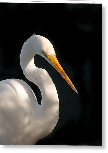 Great White Egret Portrait. Merritt Island N.w.r. Greeting Card
