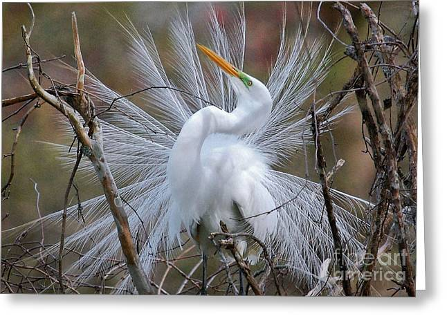 Great White Egret With Breeding Plumage Greeting Card