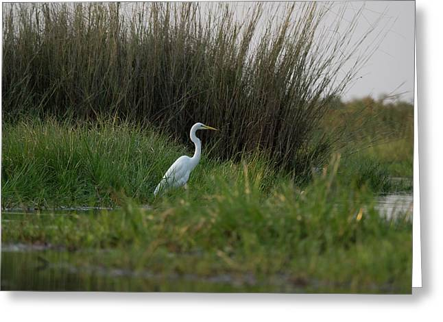 Great White Heron Ardea Alba, Okavango Greeting Card by Panoramic Images