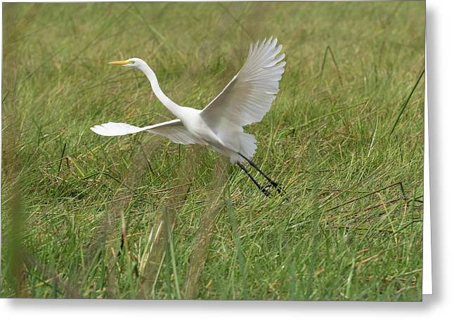 Great White Heron Ardea Alba Taking Greeting Card by Panoramic Images