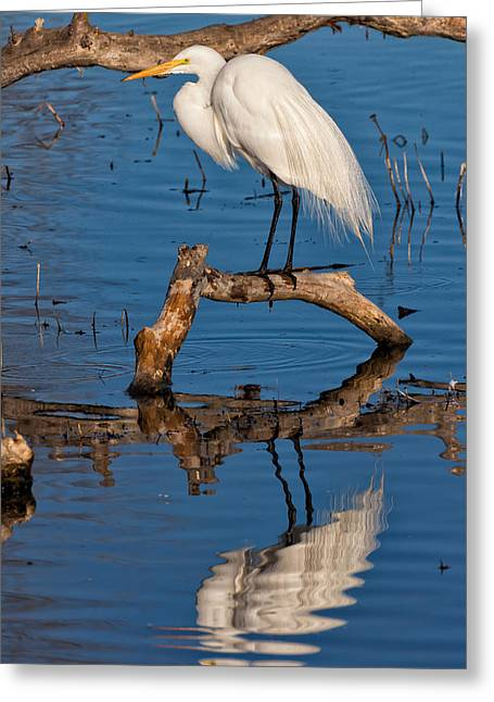 Great White Heron Fishing Greeting Card