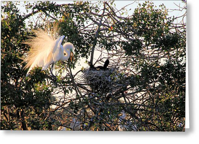 Great White Heron With Chicks Greeting Card by Rosalie Scanlon