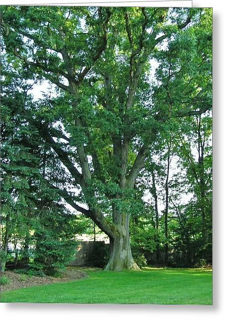 Great White Oak Greeting Card by John Wartman