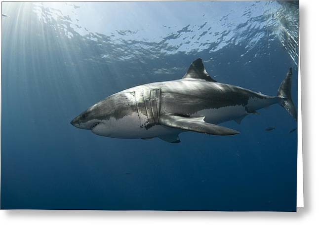 Great White Rays Greeting Card by David Valencia