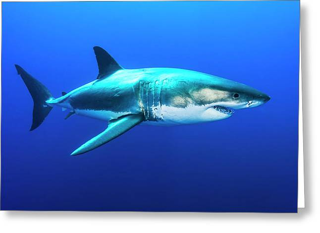 Great White Shark, Carcharodon Greeting Card
