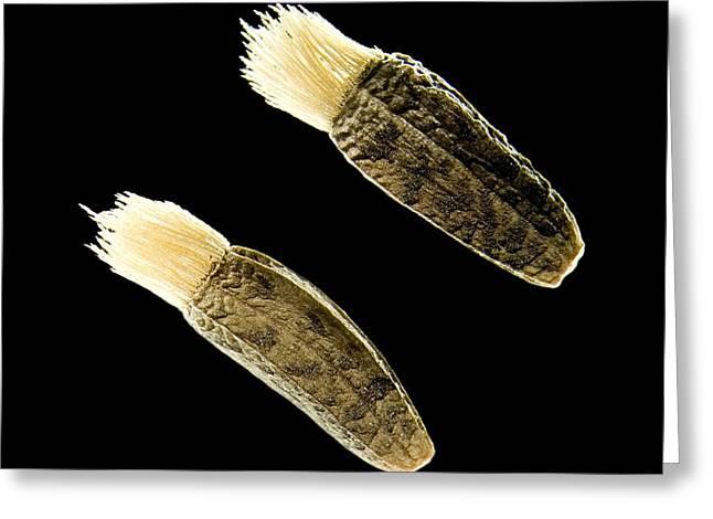 Greater Burdock Seeds, Light Micrograph Greeting Card