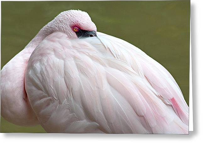 Greater Flamingo Greeting Card by A Gurmankin