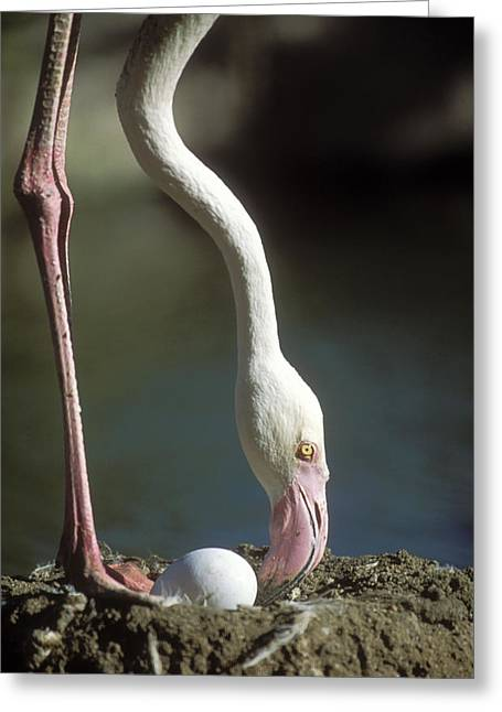 Greater Flamingo And Egg Greeting Card by M. Watson