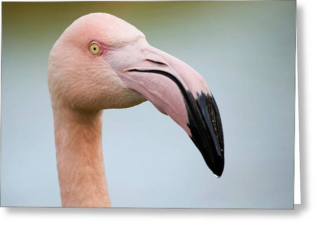 Greater Flamingo Greeting Card by Nigel Downer