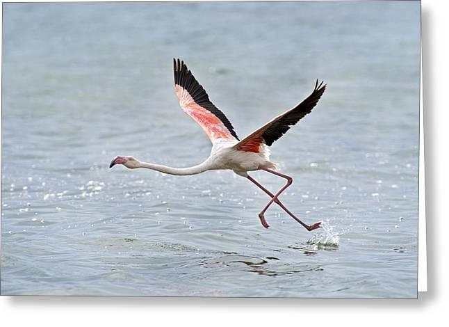 Greater Flamingo Taking Flight Greeting Card