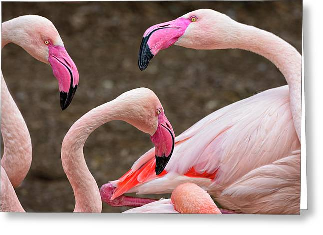 Greater Flamingos (captive Greeting Card