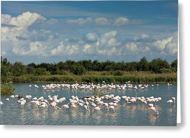 Greater Flamingos Foraging Greeting Card