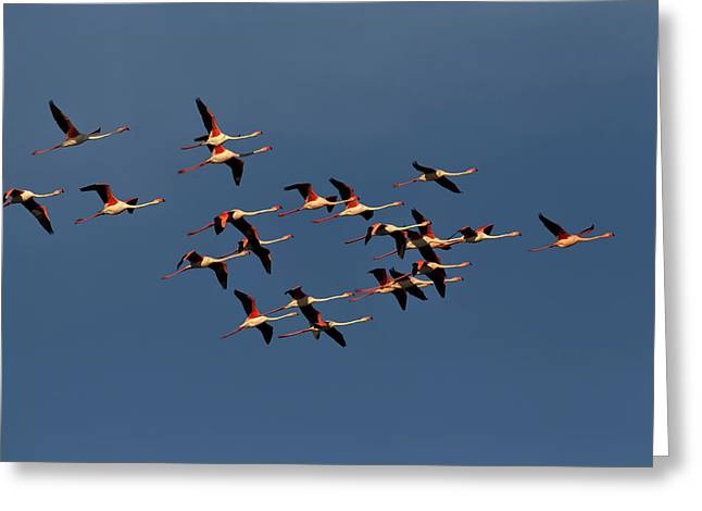 Greater Flamingos In Flight, Camargue Greeting Card