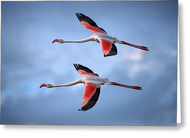 Greater Flamingos Greeting Card